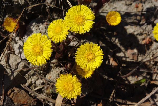 весна мать-и-мачеха