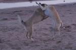 piter-sunset-dogs-0028