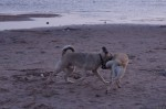 piter-sunset-dogs-0030